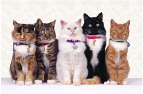 Raças felinas